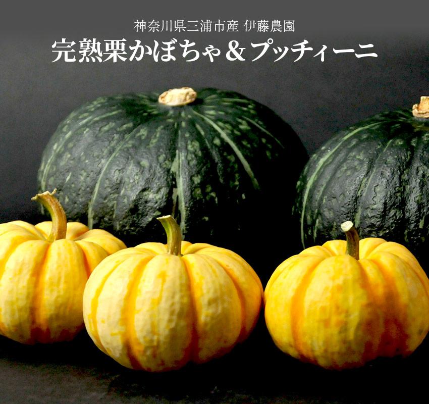 神奈川県三浦市産 伊藤農園「完熟栗かぼちゃ・プッチィーニ」